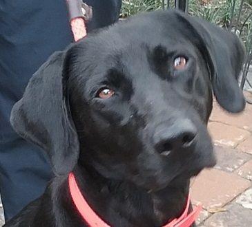 Adopt Strut On Labrador Retriever Labrador Black Labrador Retriever