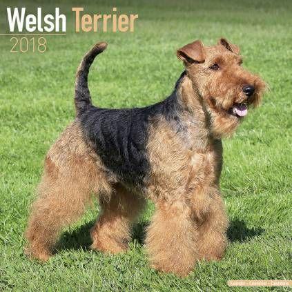 Avonside Hunde Kalender 2018 Avonside Hunde Wandkalender 2018 Welsh Terrier Hunderassen Liste Hunderassen Kleine Hunderassen