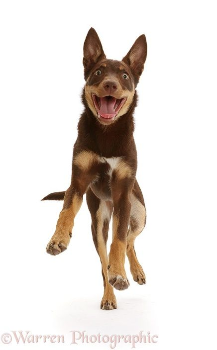 Australian Kelpie Australian Kelpie Dogs Animals Friends