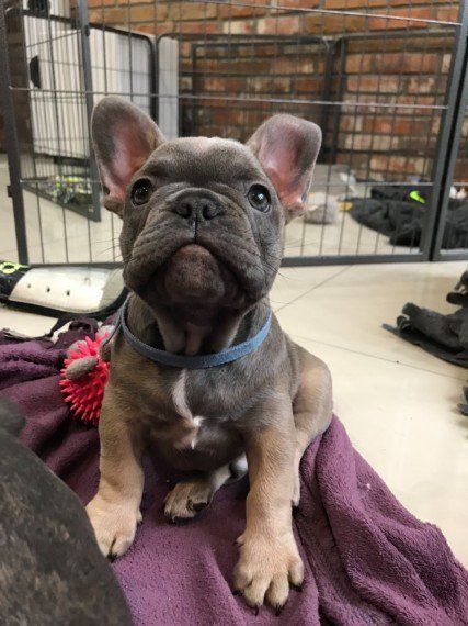 Reduced French Bulldog Kc Reg Girl Triple Carriers French