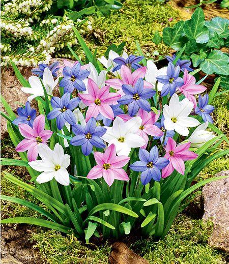 Fruhlingsstern Farbtrio 15 Zwiebeln Blumenzwiebeln Pflanzen Fruhling