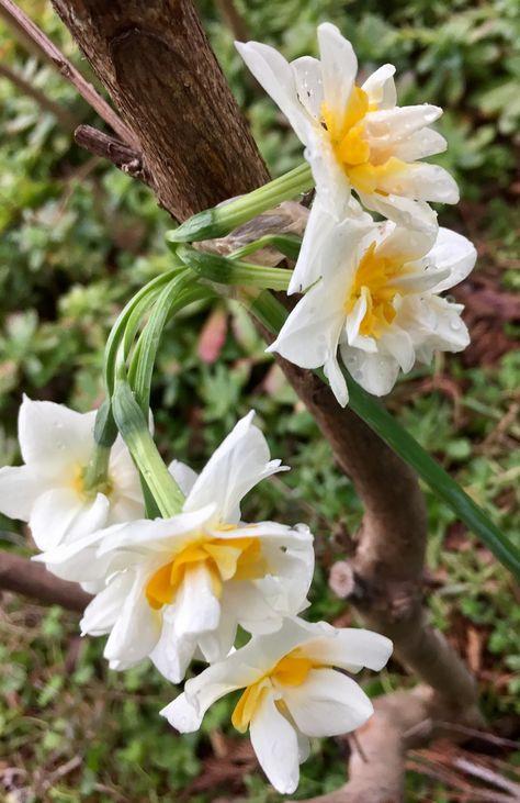 Fiori Narcisi.Pin Di Ursula Su Blumen Fiore Narciso Narcisi Fiori
