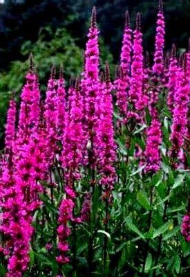 Krwawnica Pospolita W Rosliny Ogrodowe Sklep Internetowy Allegro Pl Beautiful Flowers Perennial Garden Flower Farm