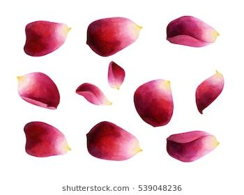 Set Of Bright Rose Petals Watercolor Botanical Illustration Isolated On White Background Rose Petals Rose Petals Drawing Roses Drawing