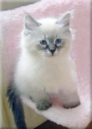 My Laptop Siberian Kittens Pretty Cats Cute Cats
