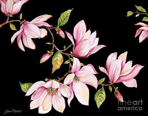 Magnolia Painting - Magnolias-black-jp3875 by Jean Plout