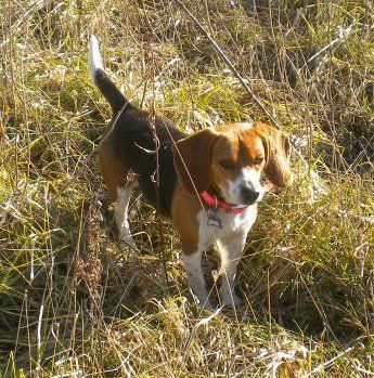 My Beagle Out Rabbit Hunting Beagleshunting Beagle Dog Rabbit