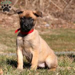 Belgian Malinois Puppies For Sale Greenfield Puppies In 2020 Belgian Malinois Puppies Malinois Puppies Malinois Puppies For Sale