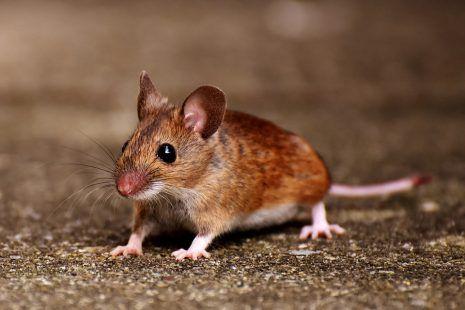تفسير حلم الفار في المنام 8230 تعرف على أهم التفاسير الشائعة لابن سيرين Pet Mice Animals Cute Animals