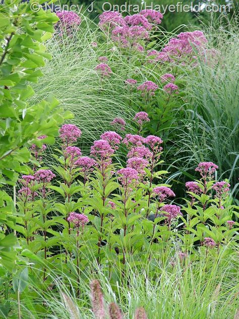 Eutrochium dubium 'Little Joe' and E. purpureum with Miscanthus 'Morning Light'…