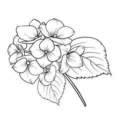Blooming Flower Hydrangea Vector Image On Vectorstock Flower Line Drawings Hydrangeas Art Flower Drawing