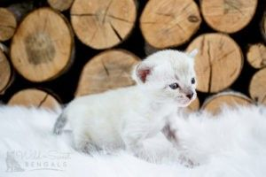 Snow White Bengal Cats For Sale White Bengal Cat Bengal Cat For Sale Bengal Cat