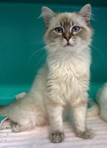 Siamese Balinese Mix Cat Breeds Balinese Cat Cat Breeds Siamese