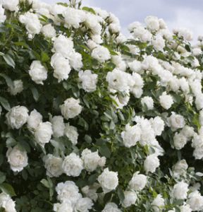 Nursery Management - May 2017 - Recognizing regional roses: Regional Winner in the Northeast, North Central, Northwest, Southeast and Southwest Name: Icecap Breeder: Meilland International and Will Radler