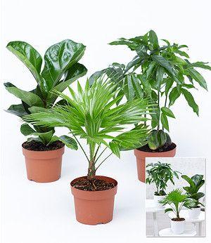 Winterharte Kubel Palme 2er Set Chinesische Hanfpalme Gunstig Online Kaufen Mein Schoner Garten Shop Pflanzen Lila Pflanzen Zimmerpflanzen