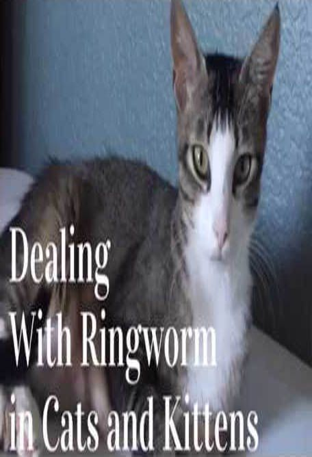Treating Ringworm In Cats Ringworm In Cats Treating Ringworm Cats