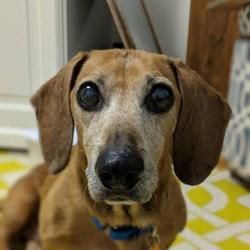 Chester Springs Pa Dachshund Meet Eckrich A Pet For Adoption