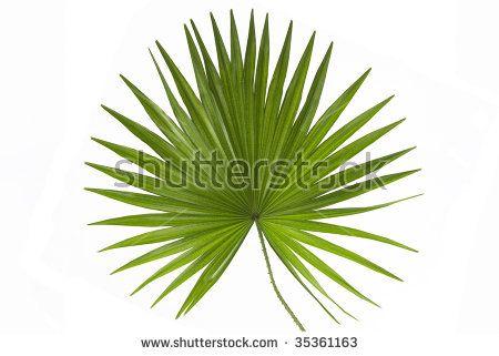 Palm Leaf White Background Stock Photo (Edit Now) 35361163
