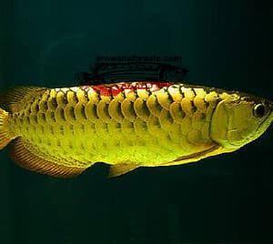 24k Gold Arowana In 2020 Dragon Fish Fish Fish Pet