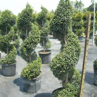 Spiral Evergreen Trees With Landscaping Evergreen Landscaping