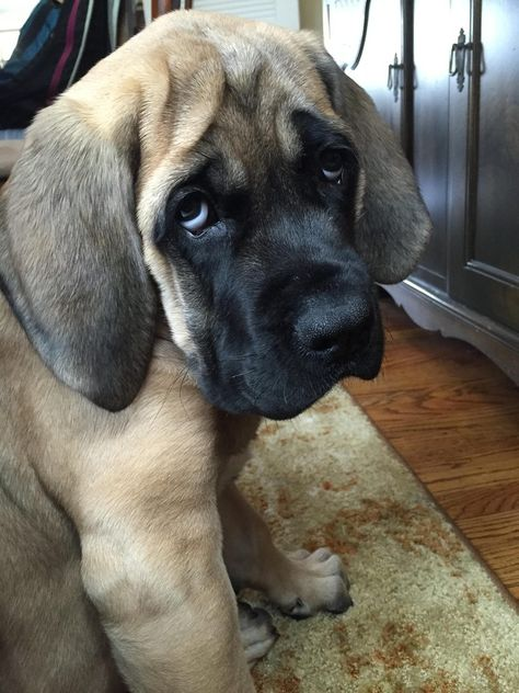Cute Overload :    sookie, our 12-week-old english mastiff