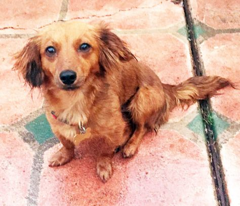 Adopt Delphine In Silicon Valley On Dachshund Dog Pets Dogs