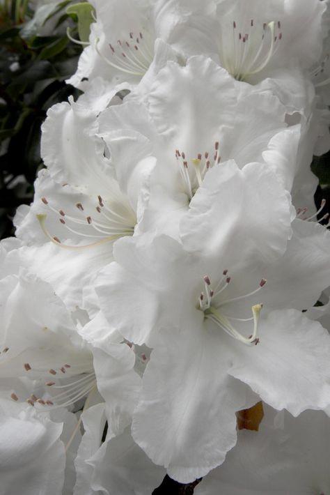 10 graines fraîches Liriodendron chinense-Chinois tulip tree