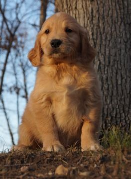 Golden Retriever Puppy For Sale In Warsaw In Adn 67723 On