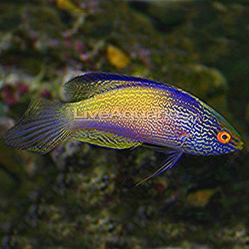 Lineatus Fairy Wrasse Cirrhilabrus Lineatus Buy Cheap Lined Fairy Wrasse At Wholesale Saltwater Fish Tanks Rare Fish Sea Fish