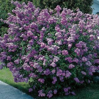 Old Fashioned Lilac Bush Spring Flowers Hardy Shrub Etsy Lilac Bushes Lilac Tree Garden Shrubs