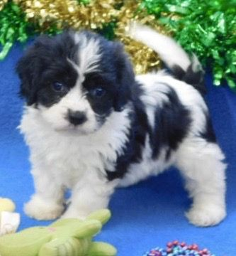 Cavachon Puppies Prices Puppy Breeder In Iowa Century Farm Puppies In 2020 Cavachon Puppies Cavachon Dog Cockapoo Puppies For Sale