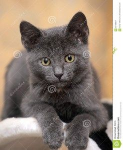 Can Russian Blue Cats Have Yellow Eyes Hewan
