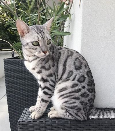 Bengal Cats Tumblr With Images Bengal Cat White Bengal Cat