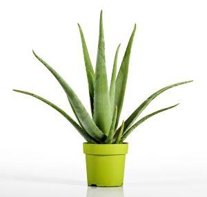 Recolter Le Gel D Aloe Vera Aloes Aloe Vera Cheveux Et Masque