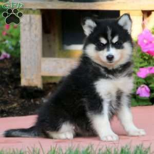 Pomsky Puppies For Sale Pomsky Breed Profile Greenfield Puppies Pomsky Puppies Puppies Greenfield Puppies