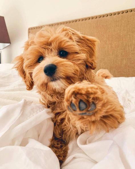Cavapoo Puppies: Information, Characteristics, Facts, Videos