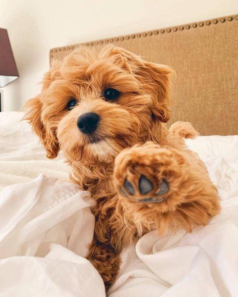 Cavapoo puppies: information, characteristics, facts, videos - DOGBEAST art breeds cutest funny training bilder lustig welpen Cute Little Puppies, Cute Little Animals, Cute Dogs And Puppies, Cute Funny Animals, Cute Babies, Doggies, Funny Dogs, Small Puppies, Baby Puppies