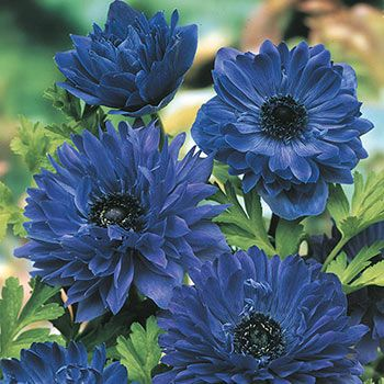 Blue Daisy Anemone Buy Online Breck S Plants Spring Hill Nursery Part Shade Flowers
