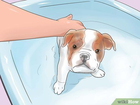 Image Titled Take Care Of An English Bulldog Puppy Step 15