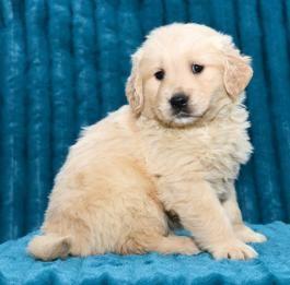 Golden Retriever Puppies For Sale In 2020 Golden Retriever