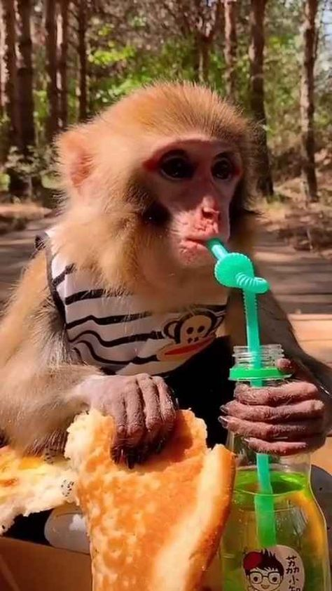 Pet Monkey For Sale, Monkeys For Sale, Cute Baby Monkey, Cute Baby Animals, Funny Animals, Monkey Funny Videos, Funny Monkey Pictures, Funny Animal Videos, Cute Dogs And Puppies