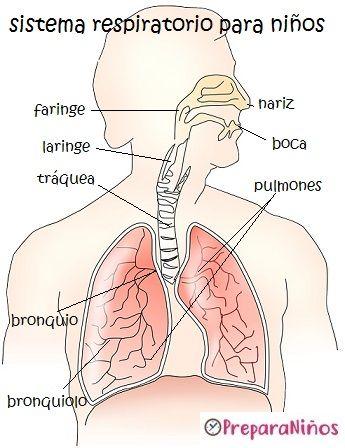 Relacion entre el sistema digestivo y respiratorio