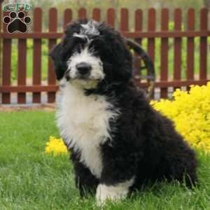 Mini Bernedoodle Puppies For Sale Greenfield Puppies Mini Bernedoodle Bernedoodle Puppy Bernedoodle