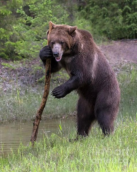 Use The Force by Art Cole #grizzlybear