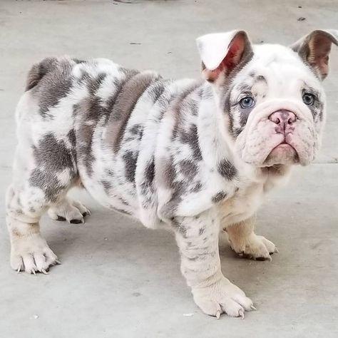 Raise a English Bulldog   Bulldog Puppies For Adoption   Types Of Bulldogs   English Bulldog Puppies Teacup. #bulldogsofinstagram #bluefrenchie #List of dreams
