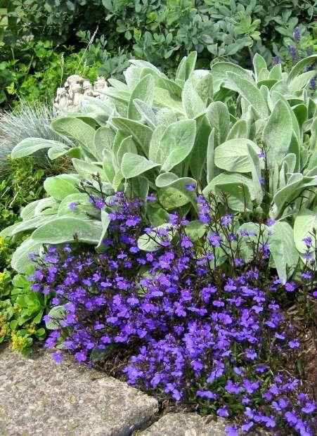 Lambs Ear And Lobelia By Sue Flower Garden Garden Shrubs Colorful Garden