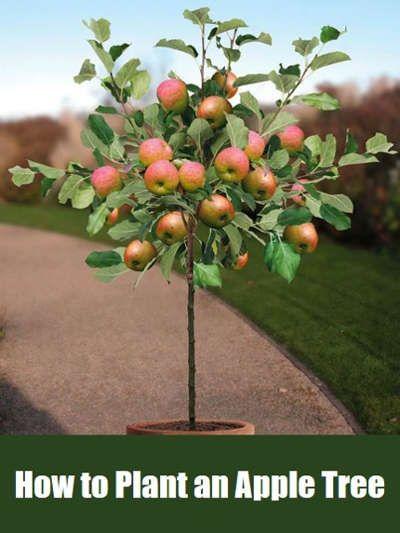 How To Plant An Apple Tree From Seed And In Pot Or Container Cultivo De Arboles Frutales Cultivo De Plantas Jardin De Vegetales