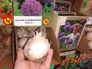 Look At The Size Of These Globemaster Allium Bulbs Plant Now For A Great Spring Display Bulb Christmas Plants