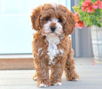 Cavapoo Puppies By Design Online Cavapoo Puppies Miniature Dog Breeds Cavapoo