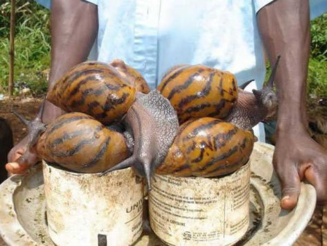 The African Giant Snail can reach up to 8 inches in length. Escargot for everyone.